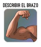 describir el brazo